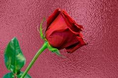 Uma rosa longa do vermelho da haste contra o fundo cor-de-rosa da folha Imagens de Stock Royalty Free