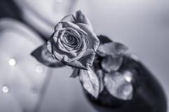 Uma rosa molhada do vermelho no vaso no fundo branco borrado Efeitos da lente do foco seletivo fotos de stock royalty free