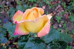 Uma rosa nas gotas Fotos de Stock Royalty Free