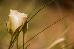 Uma Rosa no selvagem Fotos de Stock Royalty Free
