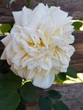 Uma Rosa por algum outro nome Fotos de Stock Royalty Free