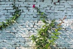Uma rosa roxa ou cor-de-rosa que floresce em um jardim contra uma parede de tijolo branca foto de stock