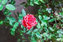 Uma rosa só será um presente para o dia de Valentim imagem de stock royalty free