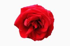 Uma rosa vermelha na flor completa Imagens de Stock