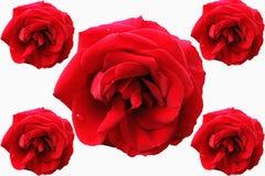 Uma rosa vermelha na flor completa Fotografia de Stock Royalty Free