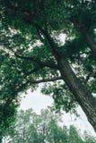 Uma ?rvore alta com folha verde lux?ria fotografia de stock