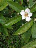 Uma ?rvore de cereja bonita fotos de stock royalty free