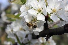 Uma ?rvore de fruto de floresc?ncia com uma abelha em uma flor branco-cor-de-rosa Fundo borrado, dia de mola ensolarado claro Fot fotografia de stock royalty free