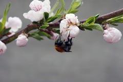 Uma ?rvore de fruto de floresc?ncia com uma abelha em uma flor branco-cor-de-rosa Fundo borrado, dia de mola ensolarado claro Fot foto de stock royalty free