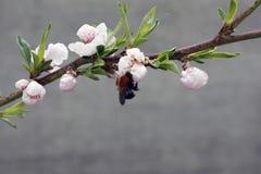 Uma ?rvore de fruto de floresc?ncia com uma abelha em uma flor branco-cor-de-rosa Fundo borrado, dia de mola ensolarado claro Fot foto de stock