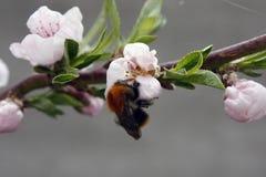 Uma ?rvore de fruto de floresc?ncia com uma abelha em uma flor branco-cor-de-rosa Fundo borrado, dia de mola ensolarado claro Fot fotos de stock