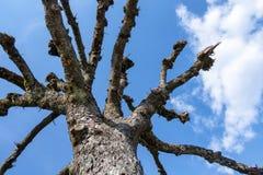 uma ?rvore leafless no c?u foto de stock royalty free