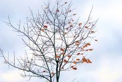 Uma árvore sem folhas Imagem de Stock