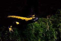 Uma salamandra de fogo Fotografia de Stock