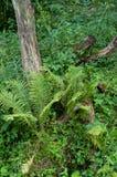 Uma samambaia selvagem ao lado de um coto de árvore velho fotografia de stock