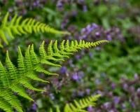 Uma samambaia verde bonita fresca Imagens de Stock Royalty Free