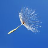 Uma semente do dente-de-leão no vento foto de stock