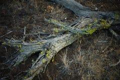 Uma senão da árvore do zimbro no fim da tarde imagem de stock