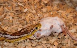 Uma serpente de milho que come um rato Fotografia de Stock