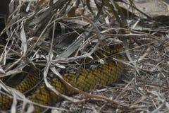 Uma serpente de rato em jardins zoológicos, Dehiwala Colombo, Sri Lanka Imagens de Stock