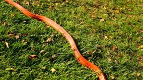 Uma serpente do albino é rastejamento na grama filme