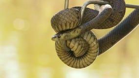 Uma serpente do bardick envolvida em torno do gancho de um wrangler video estoque