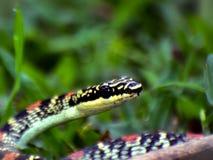 Uma serpente dos envenenamentos Imagem de Stock