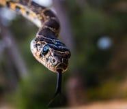 Uma serpente em ferradura Fotografia de Stock