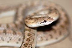 Uma serpente lustrosa comum no deserto de Califórnia Imagem de Stock