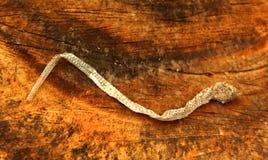 Uma serpente pequena inoperante em uma madeira do corte Foto de Stock