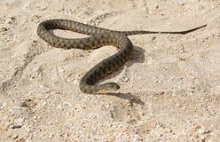 Uma serpente na praia Fotos de Stock Royalty Free