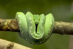 Serpente verde Fotografia de Stock Royalty Free