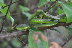 Uma serpente virulento Fotos de Stock Royalty Free