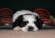 Uma sesta pequena do cachorrinho fotografia de stock