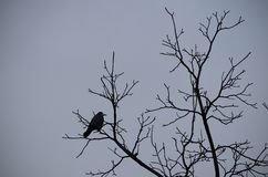 Uma silhueta de um corvo grande na árvore imagens de stock royalty free
