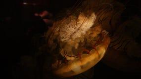 Uma somente medusa transparente venenosa amarela nas águas profundas do codl do preto escuro do mar Em um Aqurium foto de stock royalty free