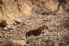 Uma sprint masculina irritada do tigre e carregado sobre o cigano no parque nacional do ranthambore foto de stock