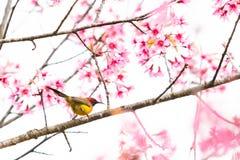 Uma Sra. minúscula colorida Vara do sunbird de Gould no ramo Himalaia selvagem da cereja fotografia de stock