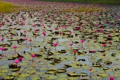 Uma suficiência do lago com os lírios de água cor-de-rosa & o x28; Rubra do Nymphaea & x29; este tipo da flor igualmente chamo fotografia de stock