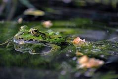 Uma superfície à superfície da àgua de espreitamento da rã Fotografia de Stock Royalty Free