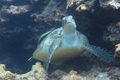 Uma tartaruga Fotografia de Stock Royalty Free