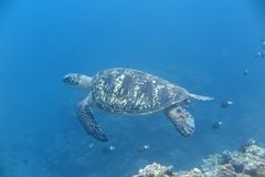 Uma tartaruga Fotos de Stock Royalty Free