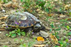 Uma tartaruga bonito, tomando sol no sol, perto de uma inclinação rochosa que conduz a uma costa do ` s da lagoa, em um parque ta imagem de stock royalty free