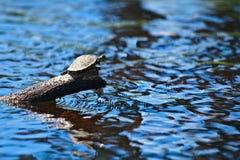Uma tartaruga com uma libélula no seu traseiro senta em um início de uma sessão o rio que toma sol no sol imagens de stock
