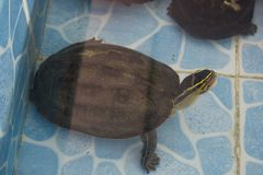 uma tartaruga de agarramento comum & um x28; Serpentina& x29 do Chelydra; surgir em um po fotos de stock royalty free