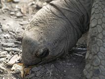 Uma tartaruga 1 de Aldabra Imagens de Stock Royalty Free