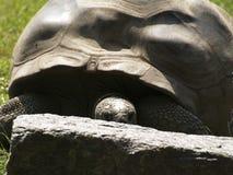 Uma tartaruga 2 de Aldabra Imagens de Stock Royalty Free