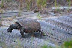 Uma tartaruga de caixa move-se rapidamente para seu ninho usando uma passagem da praia feita da madeira fotos de stock royalty free