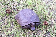 Uma tartaruga de Gopher em uma posição defensiva na grama fotografia de stock royalty free
