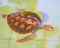 Uma tartaruga de mar Imagem de Stock